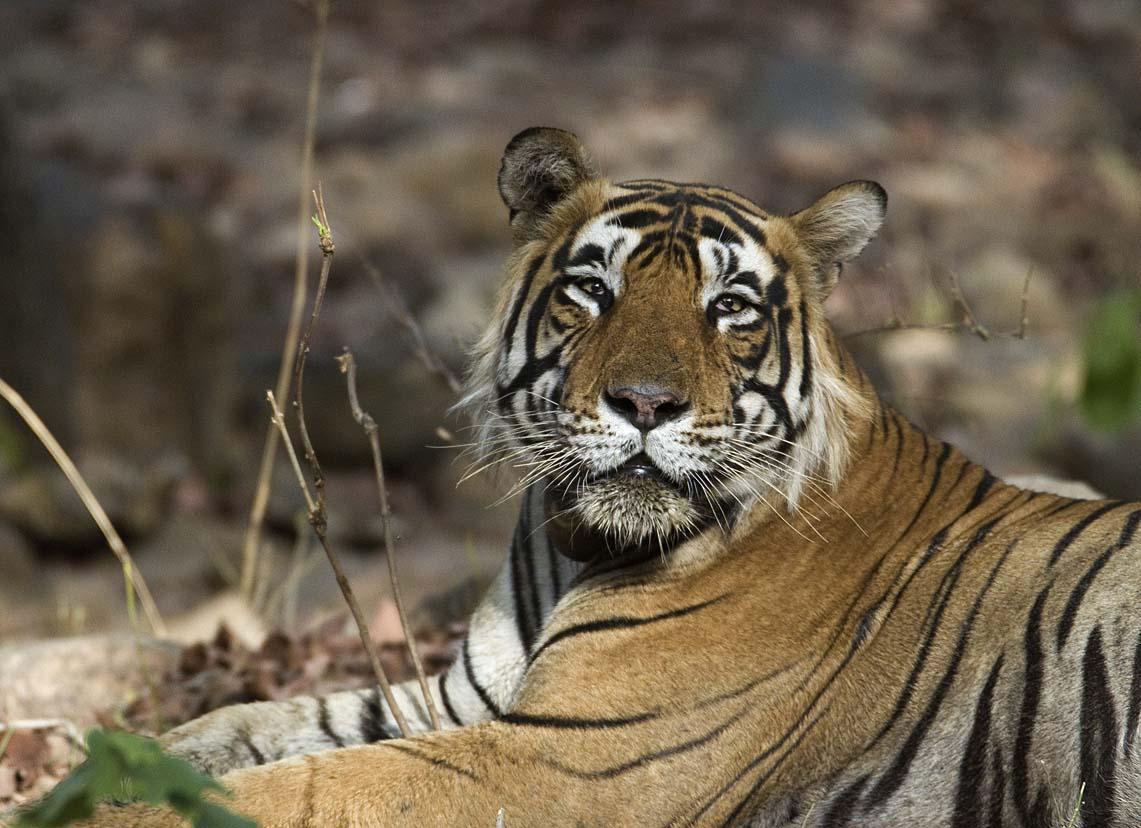 Male_Tiger_Ranthambhore