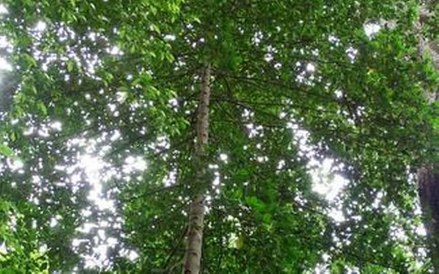 "New Species in Andaman and Nicobar – ""Pyrostrialaljii"