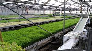 industrial production of microgreen