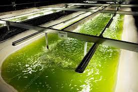 Microalgae production